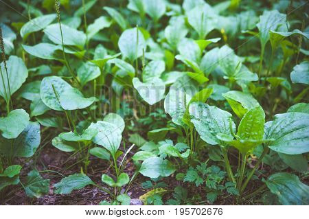 Plantain. Carpet of plantain, a medicinal plant. Toned poster