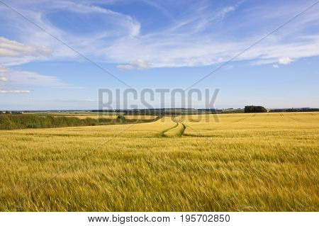 Barley And Hedgerows