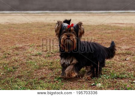 Dog breed Yorkshire Terrier stands on the lawn