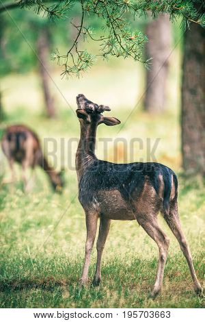 Fallow Deer Buck Stretching Neck To Feed From Branch.