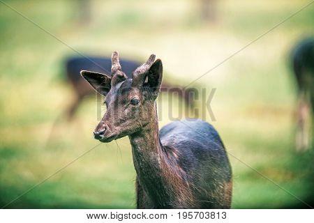 Young Fallow Deer Buck With Velvet Pedicles.