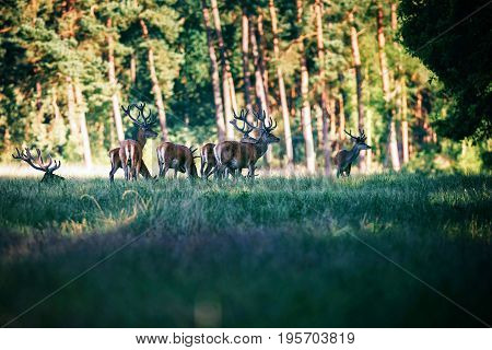 Group Of Red Deer With Antlers In Velvet In Forest Meadow.