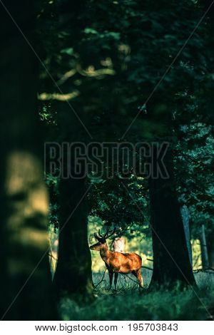 Red Deer Stag With Antlers In Velvet Lit By Dappled Sunlight In Forest.