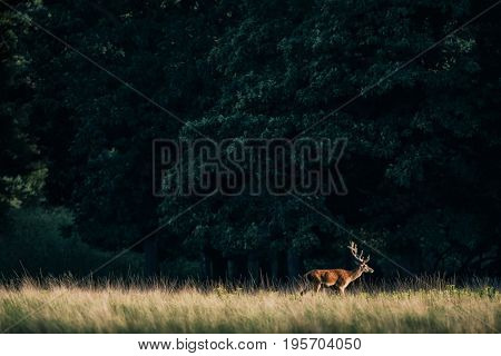 Solitary Red Deer Stag With Antlers In Velvet Walking In Meadow Lit By Evening Sun.