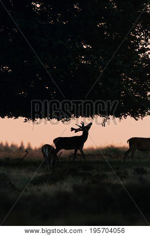 Silhouette Of Red Deer Stag At Sunset Reaching Out For A Branch.