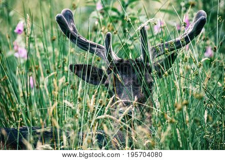 Head Of Fallow Deer Buck With Velvet Antlers Lying In Tall Grass.