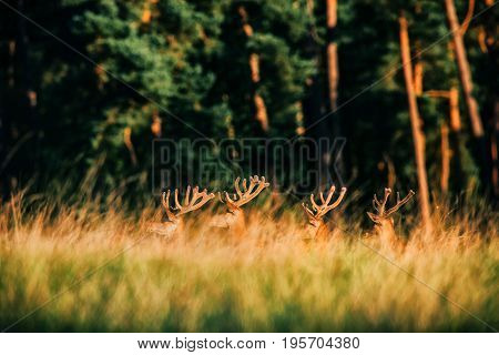 Antlers In Velvet Of Group Of Red Deer Sticking Out Tall Grass.