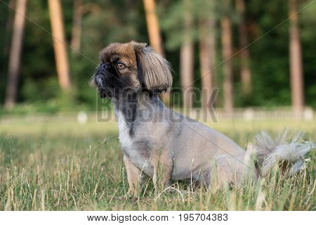 Pekingese is sitting in the field. The dog was tonsured at the dog's salon.