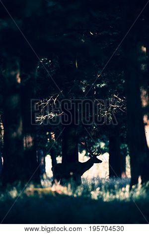 Silhouette Of Red Deer Stag Standing In Forest.