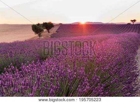 Beautiful lavender fields at sunset time. Valensole. Provence France