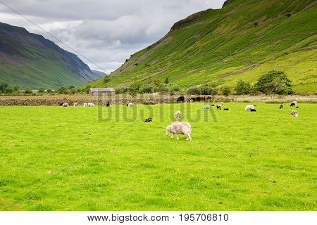 Grenn rural landscapes in Lake District National Park, England, stone wall, cows, mountains on the background, selective focus