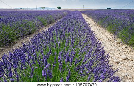 Lavender Fields At Provence Region. France