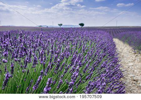Beautiful lavender fields near Valensole. Provence, France