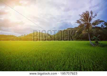 Small paddy rice field on Bohol, Philippines.