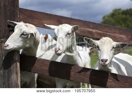 white goats in green grassy dutch meadow behind wooden fence in the netherlands