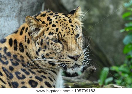 An Amur leopard in the outdoors during summer