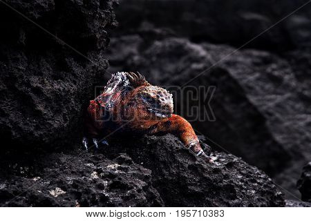 Galapagos islands. Marine iguana on black volcanic stones on Galapagos islands Ecuador.