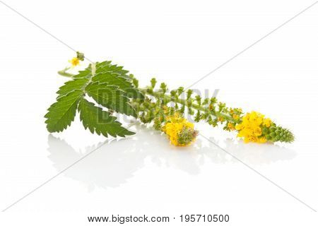 Common agrimony isolated on white. Church steeples natural remedy.