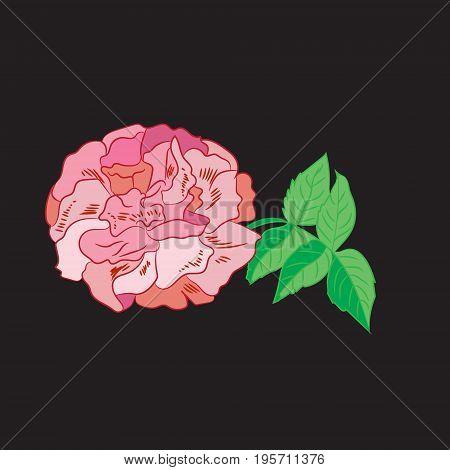 Delicate flower pink rose roses on black background vector illustration