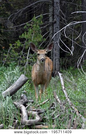 a deer stands in a forest and looks at the camera