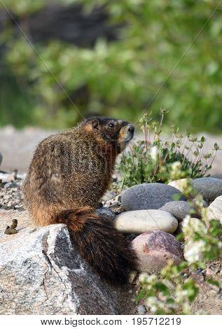 an Adult marmot sits on the rocks