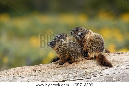 a family of baby marmots stand together on a log
