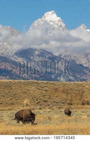 bison and pronghorns in the tetons in fall