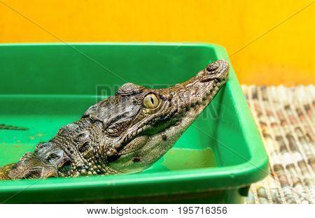 A small crocodile in the terrarium.. Close-up