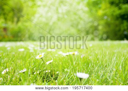 Daisy Flowers At Sunny Spring Grass Meadow. Blurry Green Trees In Background With Bokeh Effect. Card For Seasons Greetings