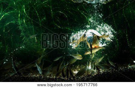 Underwater Photo Of Common Kingfisher Catching Fish.