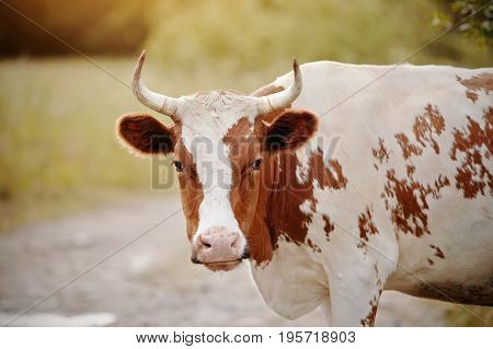 Portrait of a red - a white cow on a pasture.