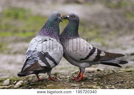 A male and female pigeon pecking at each others beaks in a courtship display known as billing