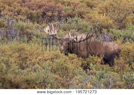 an alaska yukon bull moose in velvet in denali national park