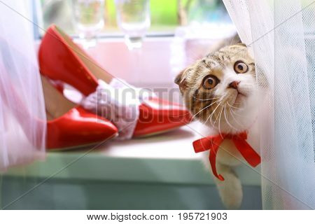 Scottish Fold Kitten With Bridal Red Shoes And Wine Glasses On Window Sill