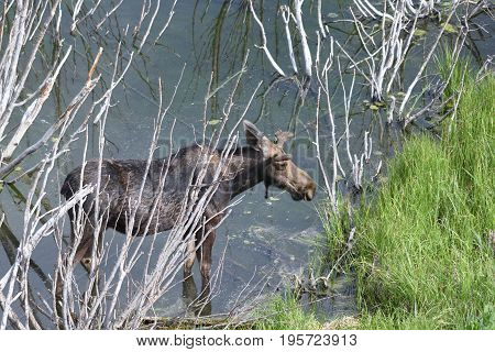 a moose stands in the willows of a pond