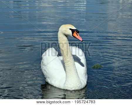 Mute swan - a bird from the family of ducks.