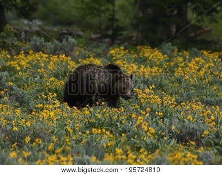 a grizzly walks through a field of wildflowers