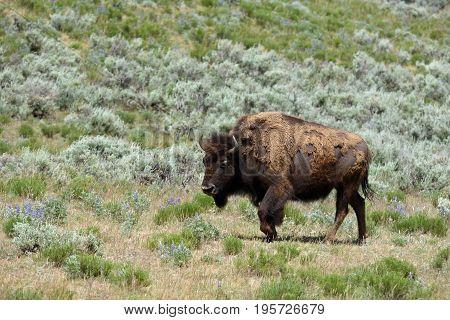 a bison walks through the sage brush