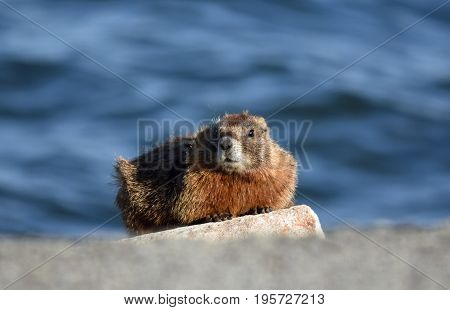 a marmot sentry sits on a large rock