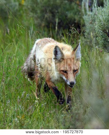a red fox walks through the sage brush