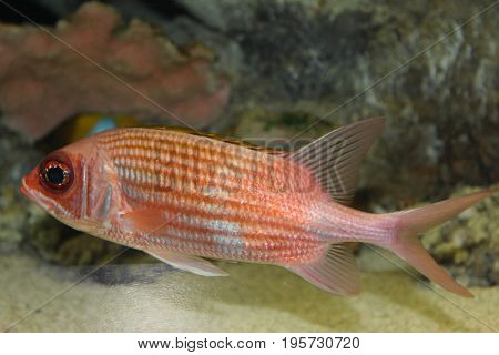 Bright orange, red, and white fish with dark black eye and light gray fins