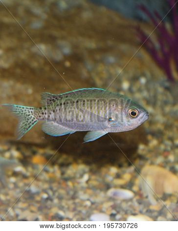 Dark gray fish with black spots and trimmed with teal green and torquoise blue