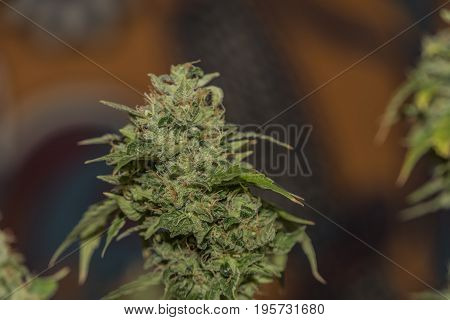 Beautiful aged bloom of S.A.G.E. variety of marijuana with color background