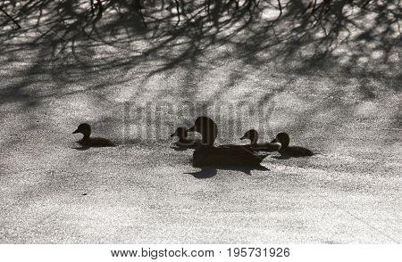 Sillouette ducks in a pond in Saskatchewan Canada
