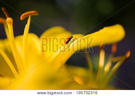 A red beetle sits on a yellow lily in a flower bed. Beautiful summer natural flower background. Greeting card with flowers. Macro photo with flower. Beautiful summer flower. Spring fresh flower. Flower against the background of summer nature. Abstraction