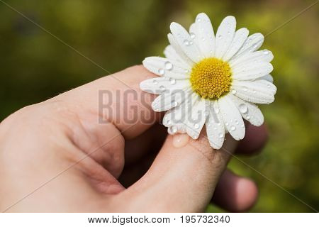 A white daisy with drops of water in her hand. Summer flower in the rain on a green background. Beautiful summer flower. Spring fresh flower. Flower against the background of summer nature. Abstraction with flower. Happy birthday greeting card with flower