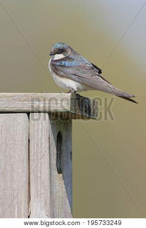 Tree Swallow (tachycineta bicolor) on a bird house
