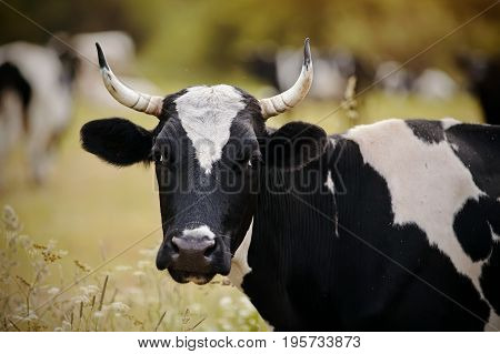 Portrait of a black-and-white cow on a pasture.