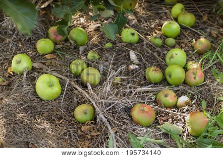 Green apples rotting on the ground having fallen from the tree