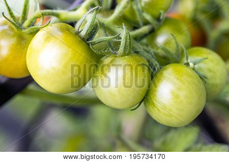 Fresh healthy organic tomatoes ripening on vine in organic garden healthy living and cooking concepts